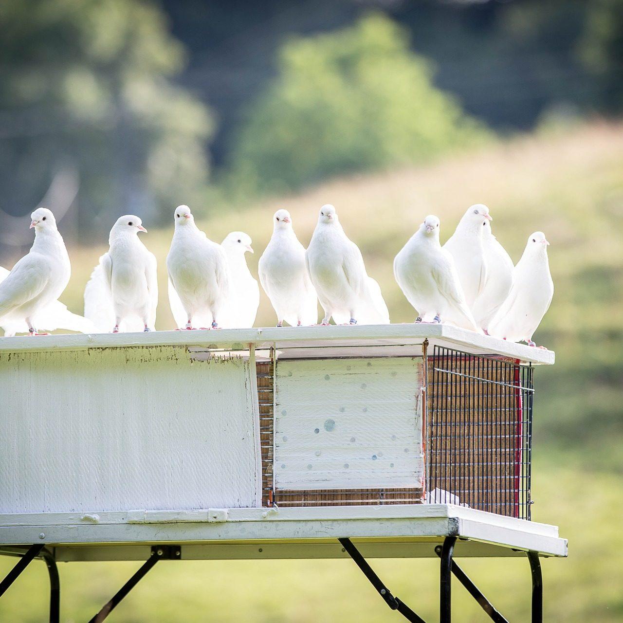 white-doves-1524488_1920